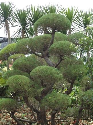 Deskripsi cemara udang ini biasa digunkan sebagai pohon pelindung yang